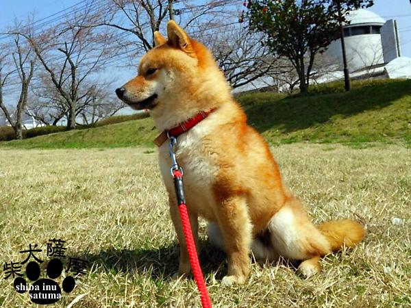 近くの広場へ遊びにお出かけ♪豆柴犬「薩摩」