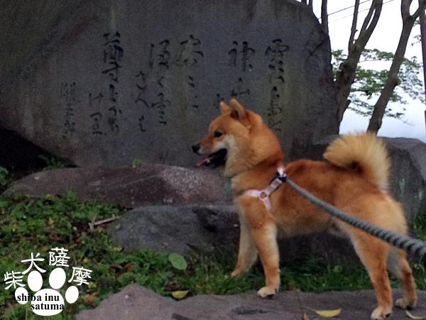 柴犬薩摩25