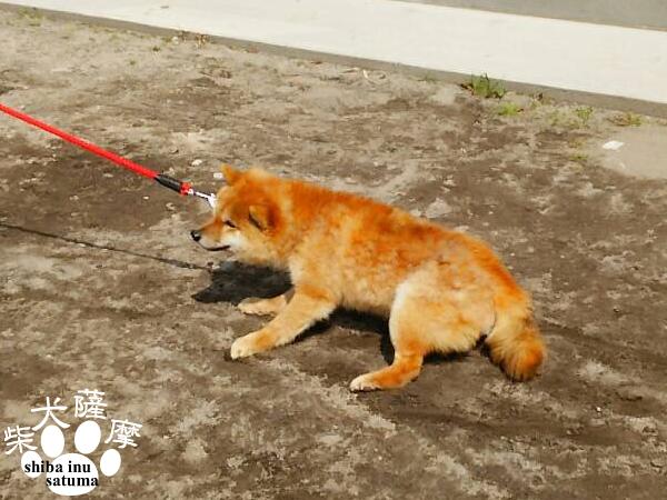 なかなか散歩に行かない豆柴犬「薩摩」